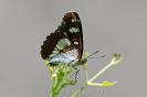 BlauschwEisvogel110612142034
