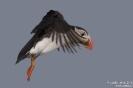 Papageitaucher160629185935