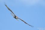 Schlangenadler170305143718