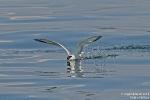 Flussseeschwalbe180619110401