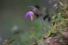 Calypso-Orchidee140530085314