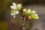 Zwetschgenblüte190408111907