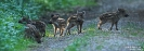Wildschwein110520081046