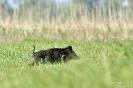 Wildschwein150524072144